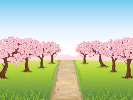 春天盛開的櫻花背景03,Mom