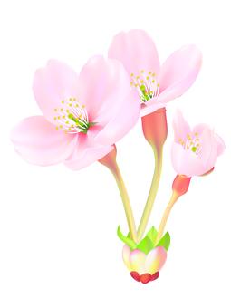 0005_ 벚꽃