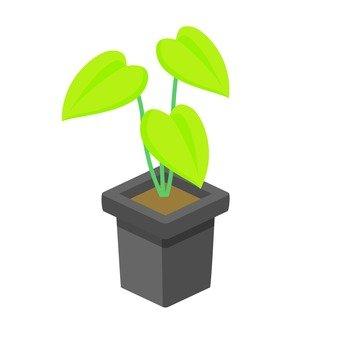 Houseplant (Potos)