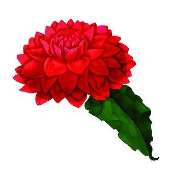 紅色大麗花
