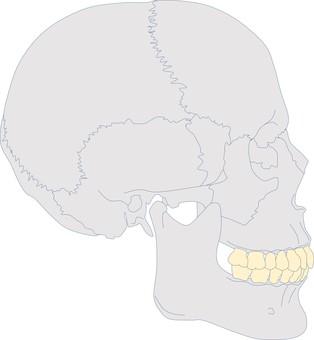 Craniofacial profile S.ClⅠ