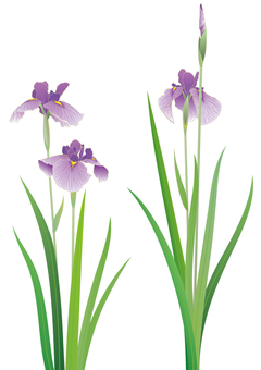 紫色虹膜葡萄_细节