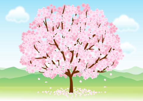 Cherry blossoms 261