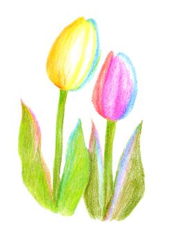 Tulip 03 (color pencil drawing)