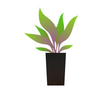 Houseplant - Terminalis