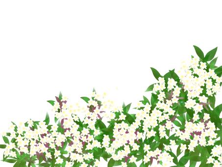 阿比西亞白色