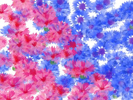 수레 국화 파란색과 분홍색
