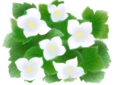 White root Kwai