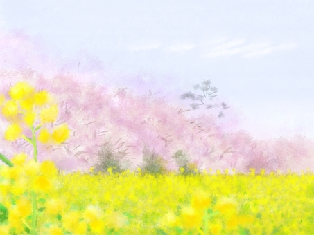 Cherry blossom and rape background