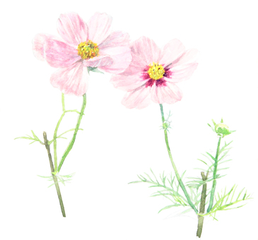 【Handwritten】 Cosmos flowers