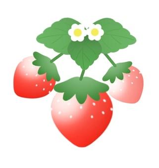 草莓(3條)