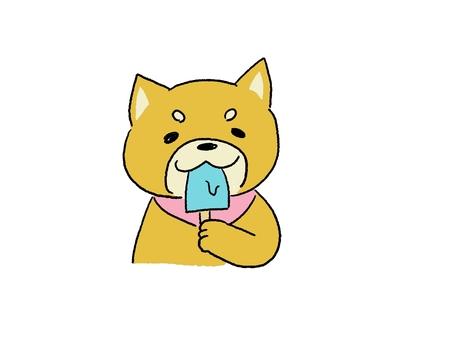 Brown shiba inu eating ice