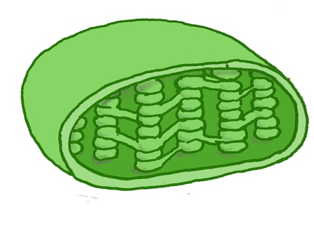 Cross section of chloroplast