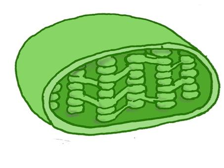 葉綠體截面