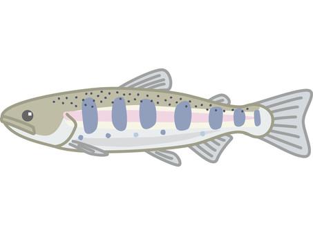 Yamame trout