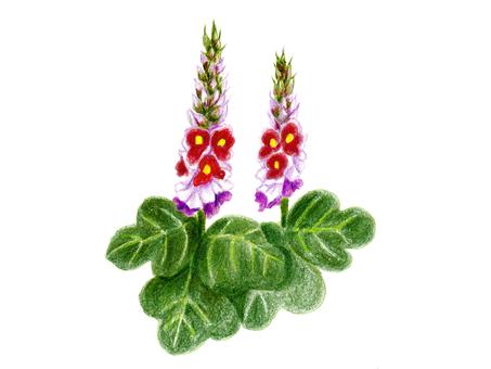 칡의 꽃 (수채화 물감)
