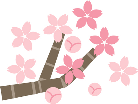 Cherry blossom season full bloom