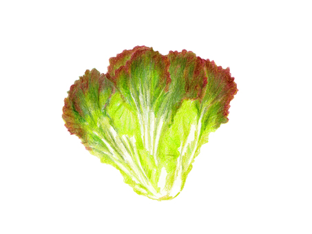 Sunny lettuce (color pencil drawing)