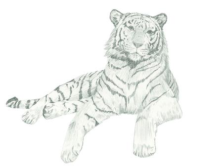 Drawing lying tiger