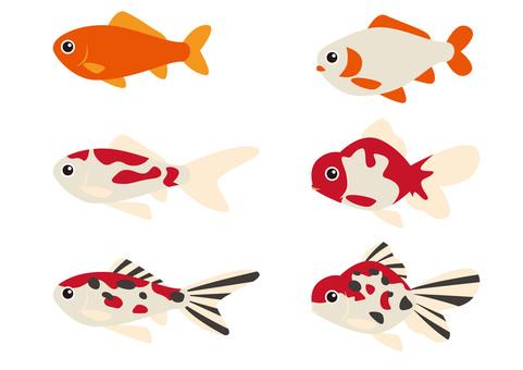 Goldfish (Wadi gold · Netherland type)