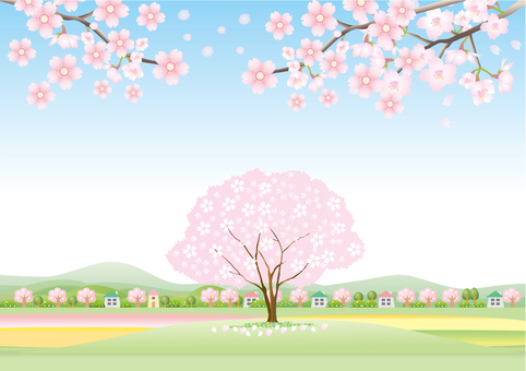 Scenery of cherry blossoms in full bloom Part 2