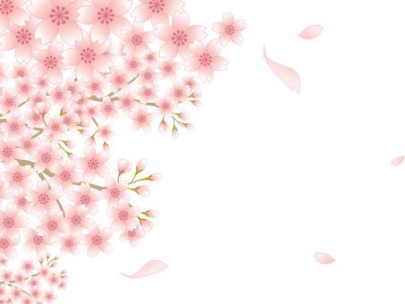 80220.桜風景,背景白1