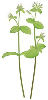 Dutch mimi nutsa / weeds