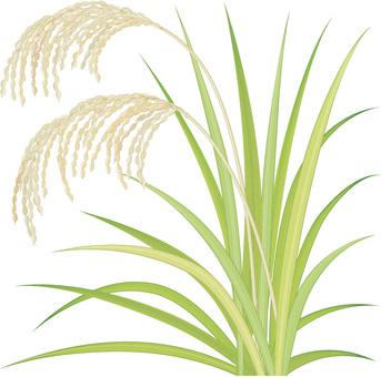 Rice / Autumn 2
