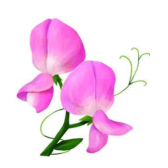 핑크 sweet pea