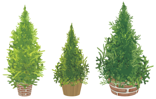 Conifer potted plant