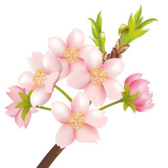 Spring · Sakura · Sakura 04