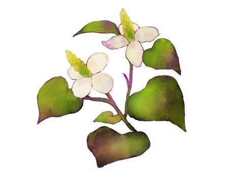 Watercolor illustration material of dokudami