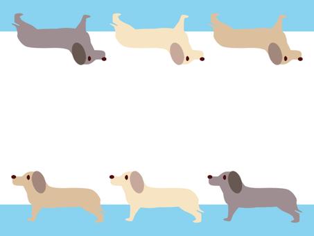 Dog miniature dachshund light blue color