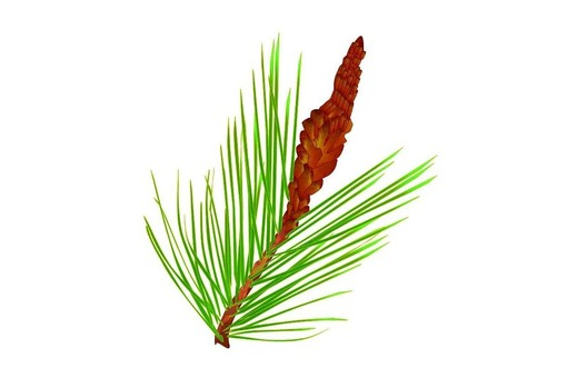 One branch of pine tree