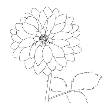 Dahlia in line drawing