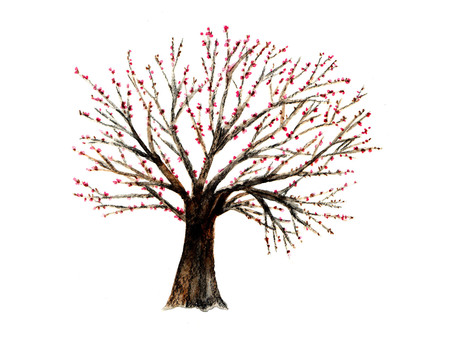 Cherry tree with bud (watercolor hand drawing)