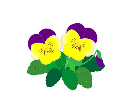 Purple & Yellow Pansy Viola