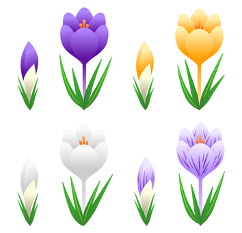 Crocus (bud and flowering)