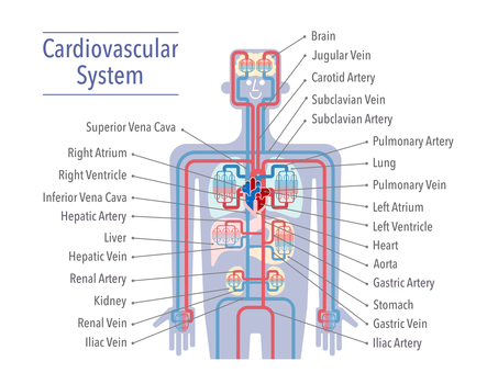 Upper body circulatory system (English, white background)