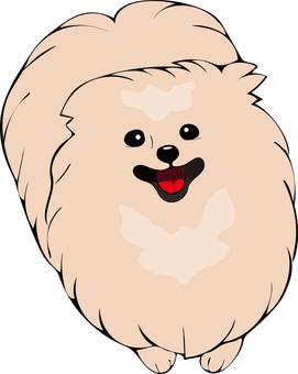 Pomeranian (cream)
