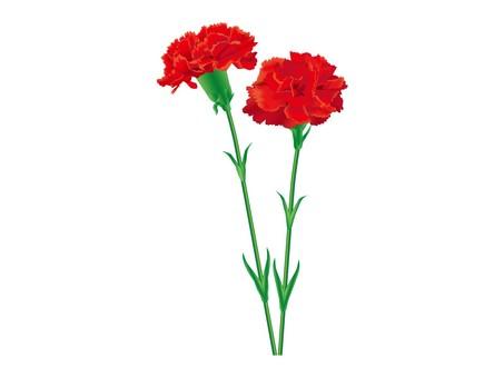 Carnation 3