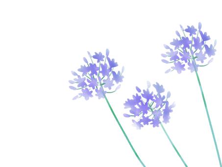 Agapanthus purple