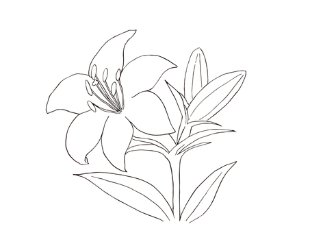 Lily flower 01