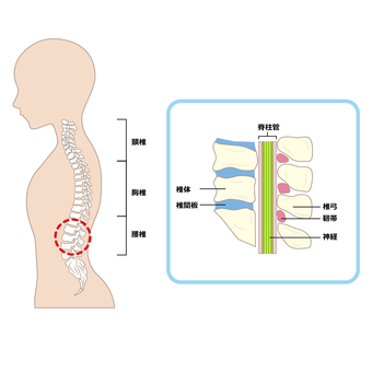 Spine and spinal canal
