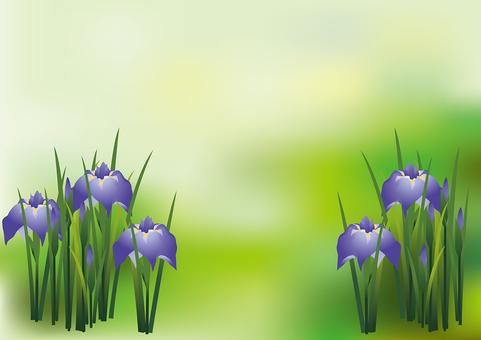Iris iris 15