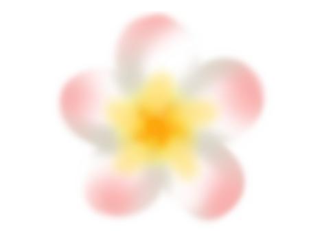 雞蛋花(粉紅色)