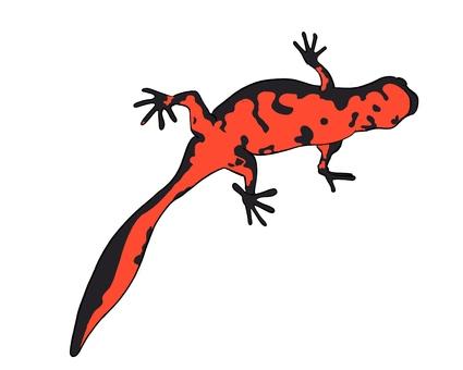 Illustration of newt seen from below