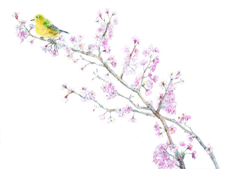 Warbler and cherry blossom