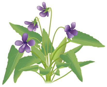 Violet / violet