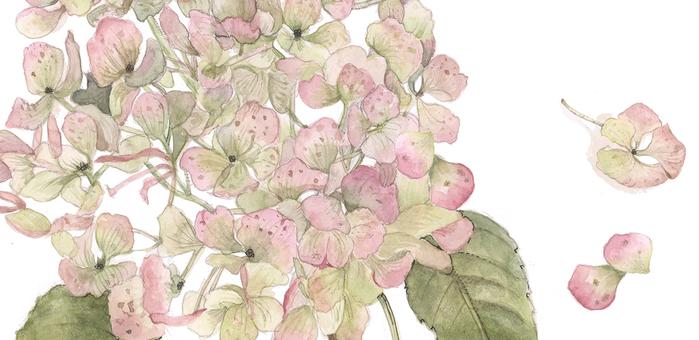 Pale color hydrangea